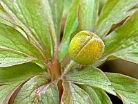 Ветреничка лютиковая (Anemonoides ranunculoides)