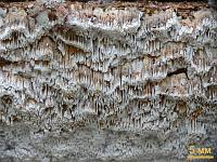 Антродия извилистая (Antrodia sinuosa)