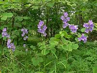 c:голубые,c:лиловые,c:синие,c:фиолетовые,лепестков 5,b:прямостоячий,s:травянистые,i:многолетние,h:до 150 см,l:очередные,l:простые,l:линейные,l:ланцетные