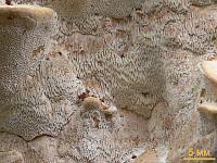 Дихомитус грязноватый (Dichomitus squalens)