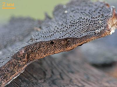 Inonotus obliquus Автор фото: Андрей Смирнов