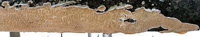 Ирпекс молочно-белый (Irpex lacteus)грибная панорама Автор фото: Андрей Смирнов