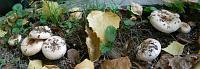 Волнушка белая (Lactarius pubescens)