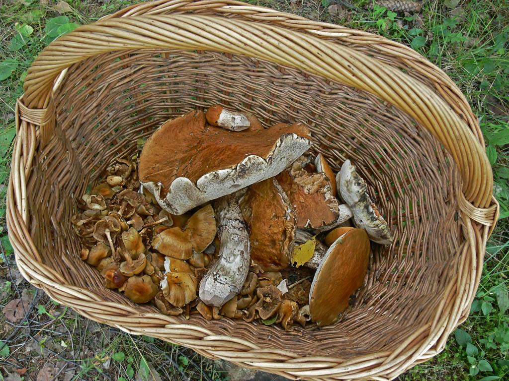 Leccinum albostipitatum в корзине. Автор фото: Андрей Смирнов