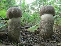 Подберезовик твердоватый (Leccinum duriusculum)