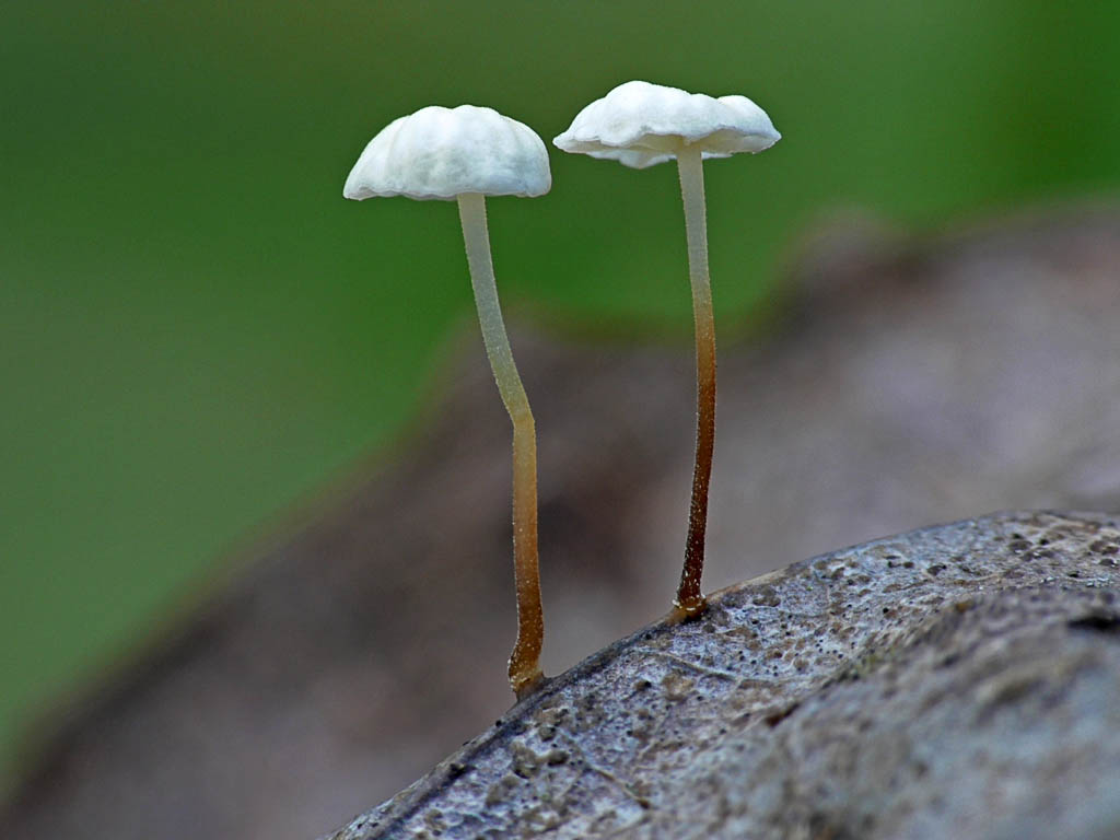 Негниючник листопадный (Marasmius epiphyllus). Автор фото: Андрей Смирнов