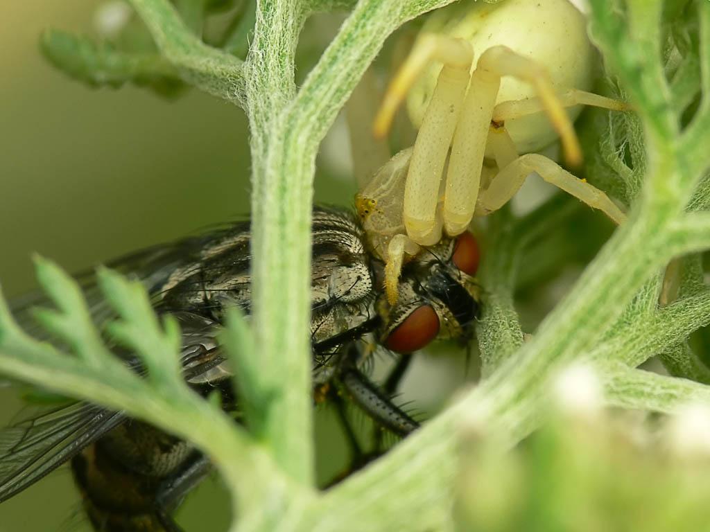 Мизумена косолапая (Misumena vatia) и муха. Завтрак аристократа. Автор фото: Андрей Смирнов