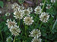 Клевер ползучий (Trifolium repens)