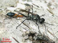 Аммофила песчаная (Ammophila sabulosa)Фасеточными глазами насекомые высматривают добычу или еду, ориентируются в пространстве... Смотрят вперёд... Третьим глазом (их может быть несколько) смотрят вверх, определяя время суток.