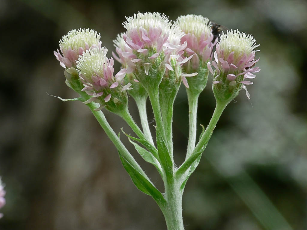Кошачья лапка двудомная (Antennaria dioica). Автор фото: Андрей Смирнов