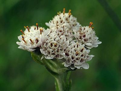 Кошачья лапка двудомная (Antennaria dioica) Автор фото: Андрей Смирнов