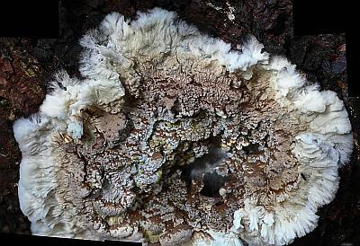 Coniophora puteana Автор: Андрей Смирнов