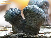 Дальдиния бородавчатая (Daldinia vernicosa)