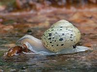Улитка кустарниковая (Fruticicola fruticum)