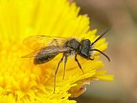 Пчела-галикт (Halictus sp)Фасеточными глазами насекомые высматривают добычу или еду, ориентируются в пространстве... Смотрят вперёд...Третьим глазом (их может быть несколько) смотрят вверх, определяя время суток.
