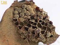 Пукциниаструм пятнистый (Pucciniastrum areolatum)На чешуйках еловой шишки. Московская обл., Химкинский район, май 2010 г.