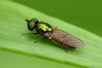 Хлоромия красивая (Chloromyia formosa)Фасеточными глазами насекомые высматривают добычу или еду, ориентируются в пространстве... Смотрят вперёд...Третьим глазом (их может быть несколько) смотрят вверх, определяя время суток.