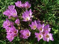 Безвременник осенний (Colchicum autumnale)