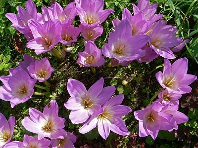 Безвременник осенний (Colchicum autumnale) Автор: Андрей Смирнов