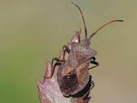 Краевик щавелёвый (Coreus marginatus)