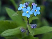 s:травянистые,i:многолетние,c:синие или голубые,c:лиловые,c:светло-розовые,c:белые