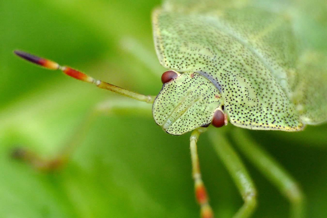 Фасеточными глазами насекомые высматривают добычу или еду, ориентируются в пространстве... Смотрят вперёд... Третьим глазом (их может быть несколько) смотрят вверх, определяя время суток. Автор фото: Андрей Смирнов