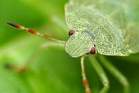 Щитник зелёный древесный (Palomena prasina)Фасеточными глазами насекомые высматривают добычу или еду, ориентируются в пространстве... Смотрят вперёд...Третьим глазом (их может быть несколько) смотрят вверх, определяя время суток.