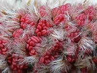 Осина обыкновенная (Populus tremula)