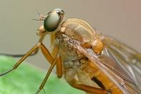 Муха-бекасница (Rhagio tringarius)Фасеточными глазами насекомые высматривают добычу или еду, ориентируются в пространстве... Смотрят вперёд...Третьим глазом (их может быть несколько) смотрят вверх, определяя время суток.