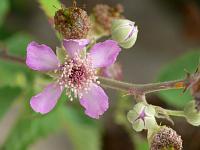 Ежевика священная (Rubus sanctus)