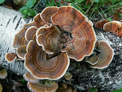 Стереум нежновойлочный (Stereum subtomentosum)