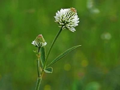 Клевер горный (Trifolium montanum) Автор: Андрей Смирнов
