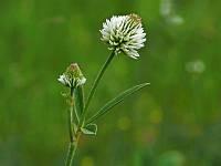 Клевер горный (Trifolium montanum)