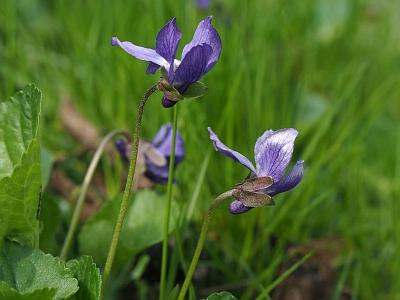 Фиалка лысая (Viola epipsila) Автор фото: Андрей Смирнов