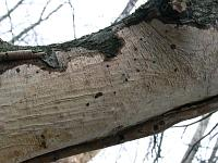 Виллеминия орешниковая (Vuilleminia coryli)