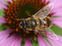 Ильница цепкая (Eristalis tenax)Фасеточными глазами насекомые высматривают добычу или еду, ориентируются в пространстве... Смотрят вперёд...Третьим глазом (их может быть несколько) смотрят вверх, определяя время суток.
