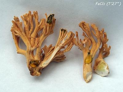 Рамария красивая (Ramaria formosa)Химические реакции на соли железа. Время от начала реакции 87 секундАвтор фото - Андрей Смирнов