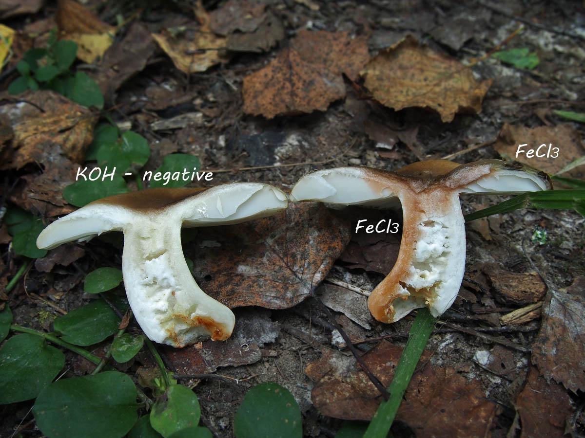 Сыроежка гребенчатая (Russula pectinata). Автор фото: Андрей Смирнов