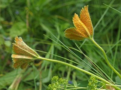 Ржавчина манжетки (Trachyspora alchemillae). Автор: Андрей Смирнов
