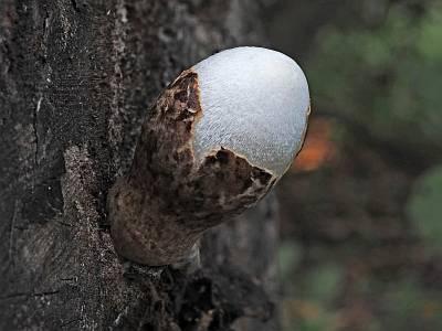 Вольвариелла шелковистая (Volvariella bombycina) Автор: Андрей Смирнов