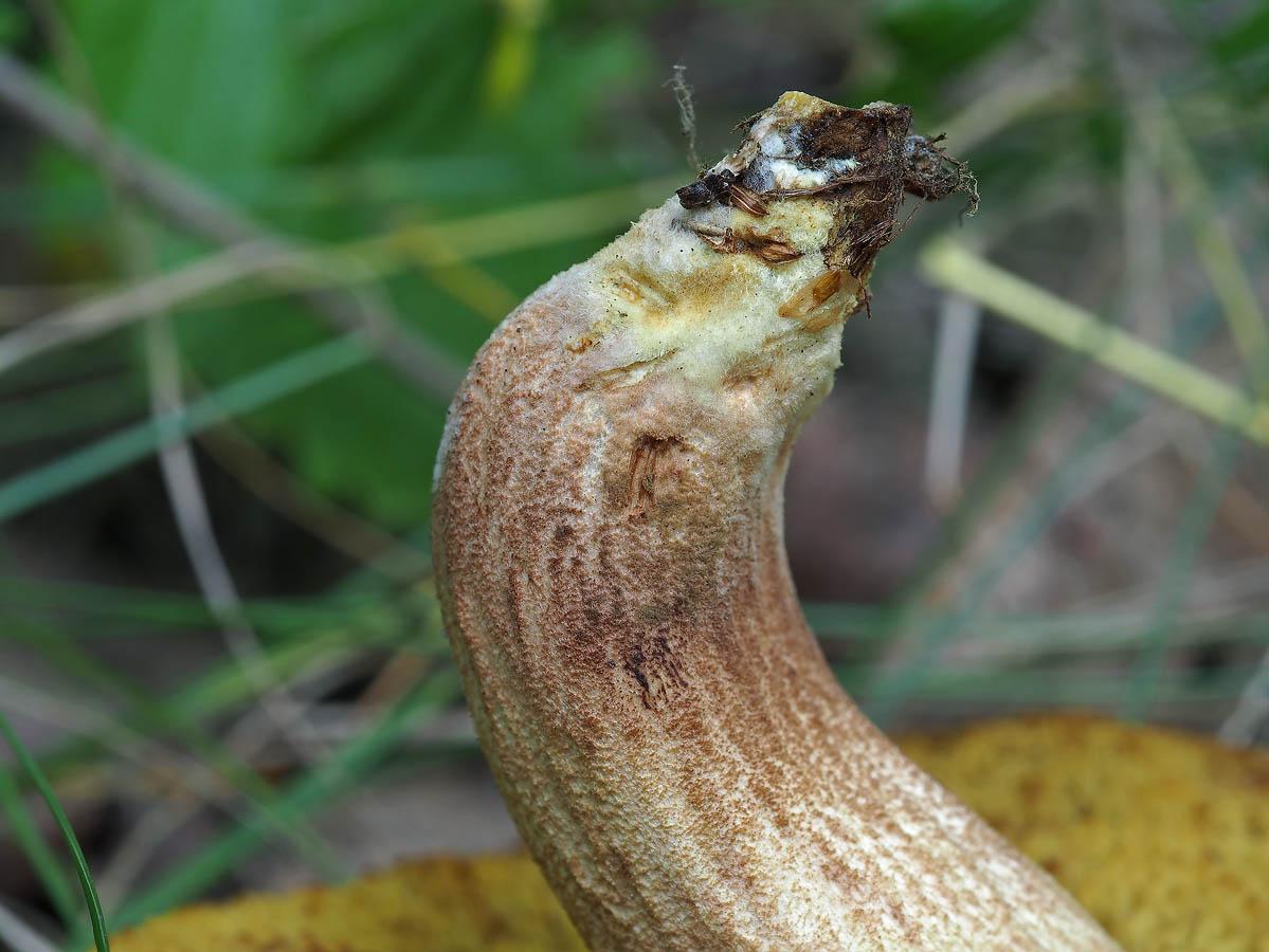 Жёлтый мицелий в основании ноги Автор фото: Андрей Смирнов